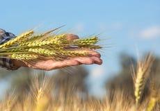 Rolnik trzyma pszenicznych ucho podczas gdy na polu fotografia royalty free