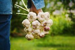Rolnik trzyma wiązkę czosnek w ogródzie organiczne warzywa _ zdjęcie stock