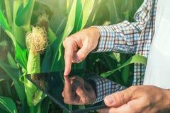 Rolnik używa cyfrowego pastylka komputer w kukurydzanym polu obraz royalty free