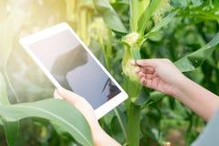 Rolnik używa cyfrowego pastylka komputer w kultywującym kukurudzy gospodarstwa rolnego fie obrazy royalty free