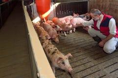 Rolnik w świniowatym gospodarstwie rolnym zdjęcia royalty free
