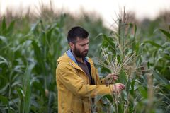 Rolnik w kukurydzanym polu Obrazy Stock