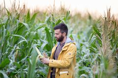Rolnik w kukurydzanym polu Fotografia Stock