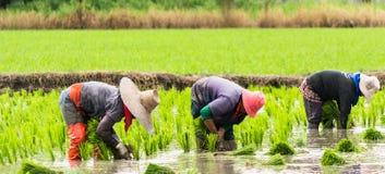Rolnik w ricefield Zdjęcia Stock