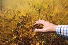 Rolnik w rolniczym jęczmienia polu, odpowiedzialnym uprawiać ziemię i cro, Obrazy Royalty Free