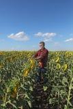 Rolnik w słonecznik śródpolnej egzamininuje roślinie Obraz Royalty Free