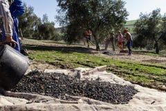 Rolnik wywala oliwki zbierać wewnątrz dużo, podczas zimy Fotografia Stock