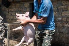 Rolnik wziąć świni zdjęcie stock