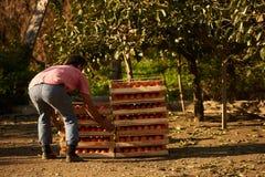 Rolnik z świeżo zbierać persimmon owoc w drewnianym pudełku obraz stock