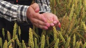 Rolnik z adra w rękach na pszenicznym polu zbiory wideo