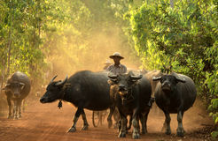 Rolnik z bizon wodą obrazy stock