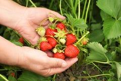 Rolnik z dojrzenie truskawkami zdjęcia stock