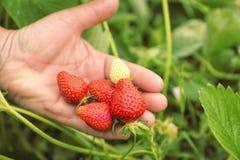 Rolnik z dojrzenie truskawkami zdjęcie stock