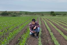 Rolnik z pastylką w soi i kukurydzanym polu w wiośnie Zdjęcie Royalty Free