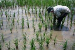 Rolnik zasadza ryżowych pola zdjęcie royalty free