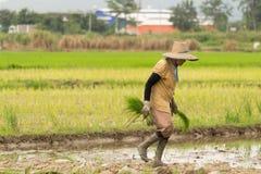 Rolnik zasadza ryż Zdjęcie Royalty Free