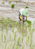 Rolnik zasadza ryż Obrazy Royalty Free