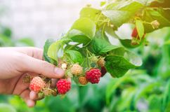Rolnik zbiera świeże malinki w ogródzie na słonecznym dniu Lato jagoda zdrowa żywność fotografia stock