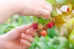 Rolnik zbiera świeże malinki w ogródzie na słonecznym dniu Lato jagoda zdrowa żywność zdjęcia stock