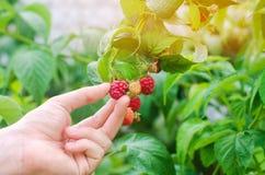 Rolnik zbiera świeże malinki w ogródzie na słonecznym dniu Lato jagoda zdrowa żywność obrazy stock