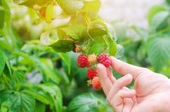 Rolnik zbiera świeże malinki w ogródzie na słonecznym dniu Lato jagoda zdrowa żywność zdjęcie stock