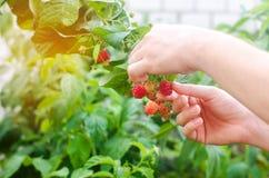 Rolnik zbiera świeże malinki w ogródzie na słonecznym dniu Lato jagoda zdrowa żywność zdjęcia royalty free