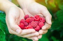 Rolnik zbiera świeże malinki w ogródzie na słonecznym dniu Lato jagoda zdrowa żywność obraz stock
