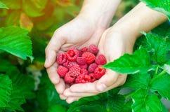Rolnik zbiera świeże malinki w ogródzie na słonecznym dniu Lato jagoda zdrowa żywność obrazy royalty free