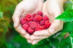 Rolnik zbiera świeże malinki w ogródzie na słonecznym dniu Lato jagoda zdrowa żywność obraz royalty free