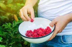 Rolnik zbiera świeże malinki w ogródzie na słonecznym dniu Lato jagoda zdrowa żywność Selekcyjna ostrość obrazy stock