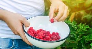 Rolnik zbiera świeże malinki w ogródzie na słonecznym dniu Lato jagoda zdrowa żywność Selekcyjna ostrość obraz royalty free