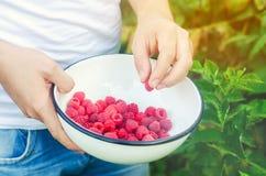 Rolnik zbiera świeże malinki w ogródzie na słonecznym dniu Lato jagoda zdrowa żywność Selekcyjna ostrość zdjęcie stock