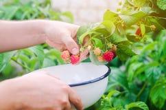 Rolnik zbiera świeże malinki w ogródzie na su zdjęcie stock