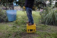 Rolnik zbiera cytrus owoc w ogródzie fotografia stock