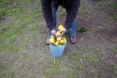 Rolnik zbiera cytrus owoc w ogródzie zdjęcie royalty free