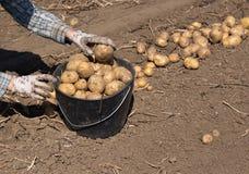 Rolnik zbiera grule w polu zdjęcie stock