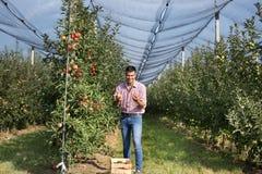 Rolnik zbiera jabłka w sadzie fotografia royalty free
