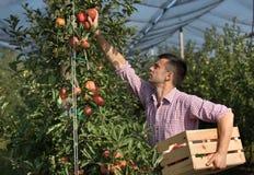Rolnik zbiera jabłka w sadzie obraz royalty free