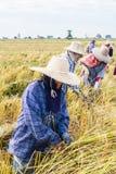 Rolnik zbiera od ryżowego pola Zdjęcie Stock