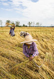 Rolnik zbiera od ryżowego pola Fotografia Royalty Free