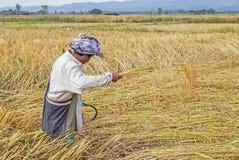 Rolnik zbiera od ryżowego pola Fotografia Stock