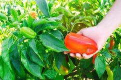 Rolnik zbiera pieprzu w polu Świezi Zdrowi Organicznie warzywa Rolnictwo obraz stock