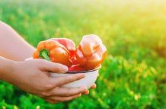 Rolnik zbiera pieprzu w polu Świezi Zdrowi Organicznie warzywa Rolnictwo zdjęcia stock