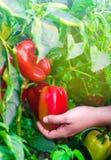 Rolnik zbiera pieprzu w polu Świezi Zdrowi Organicznie warzywa Rolnictwo obraz royalty free