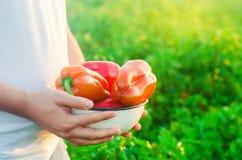 Rolnik zbiera pieprzu w polu Świezi Zdrowi Organicznie warzywa Rolnictwo obrazy royalty free