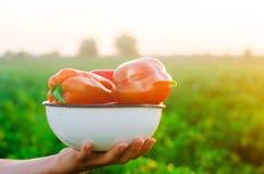 Rolnik zbiera pieprzu w polu Świezi Zdrowi Organicznie warzywa Rolnictwo zdjęcie stock