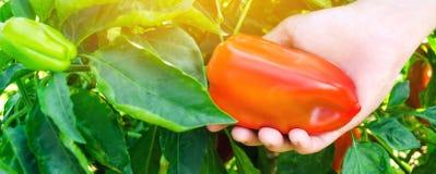 Rolnik zbiera pieprzu w polu Świezi Zdrowi Organicznie warzywa Rolnictwo Selekcyjna ostrość obraz royalty free