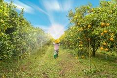 Rolnik Zbiera pomarańcze Zdjęcia Royalty Free