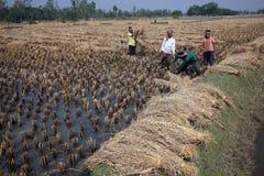 Rolnik zbiera ryż na ryżu polu w Baidyapur, Zachodni Bengalia, India Obraz Stock