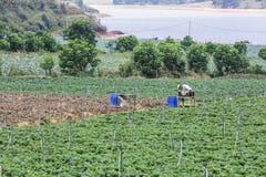 Rolnik zbiera truskawki Fotografia Stock